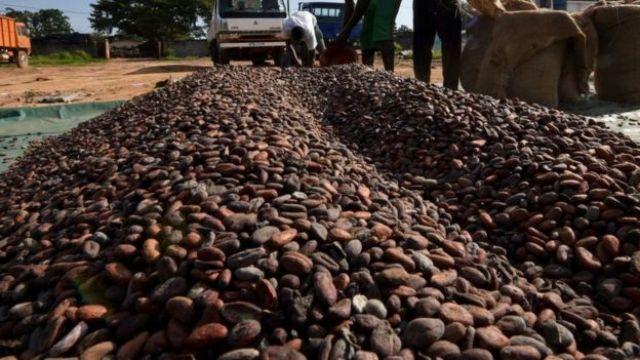 Granos de cacao.