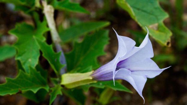 Una flor de estramonio