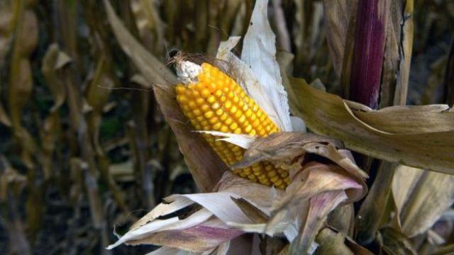 México es uno de los principales compradores de maíz de Estados Unidos.
