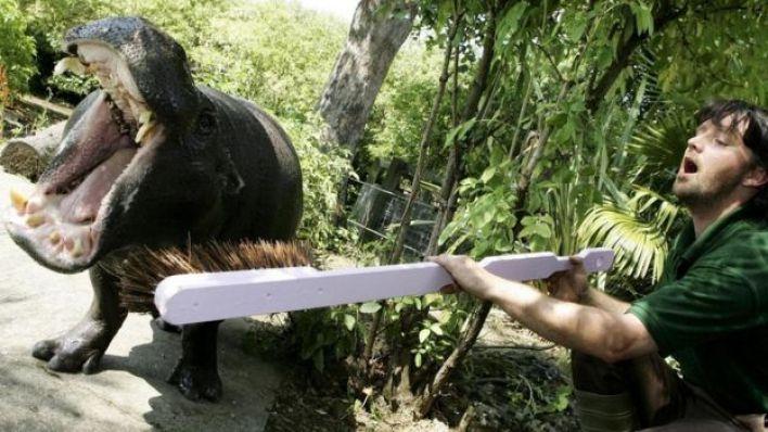 شاب يحاول تنظيف أسنان حيوان فرس النهر