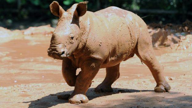 A muddy baby rhino