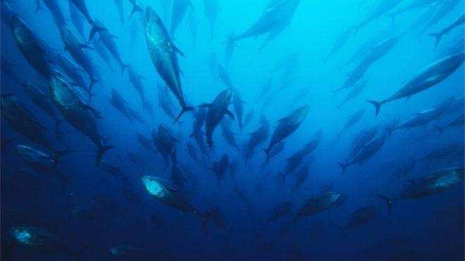 Northern bluefin tuna. File photo