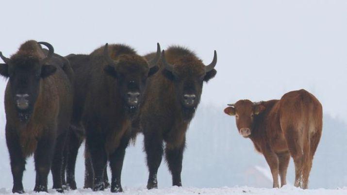 Genç inek, bizon sürüsü içinde dikkat çekiyor