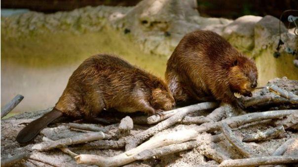 Dos castores del zoológico de Washington DC (Foto archivo de 2012)