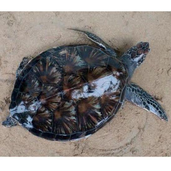 ගල් කැස්බෑවා - Green Turtle (Cheloniamydas)