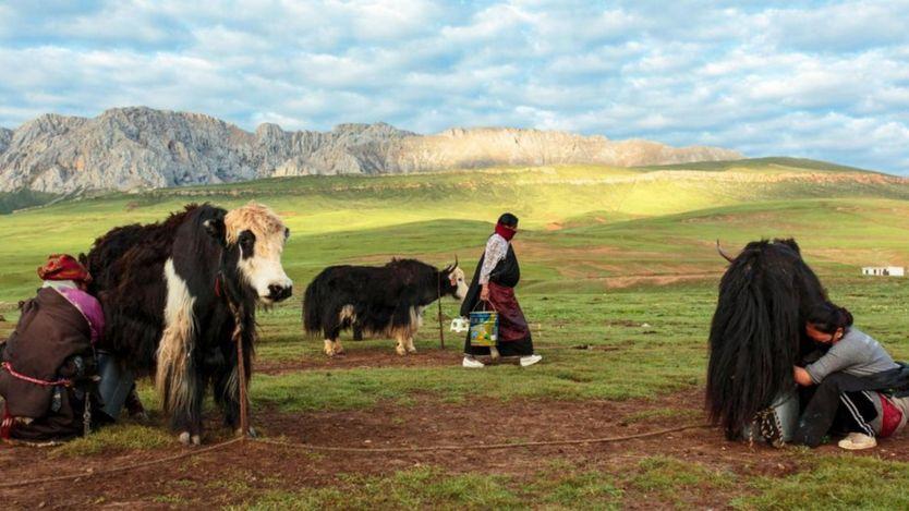 Bò lông Tây Tạng