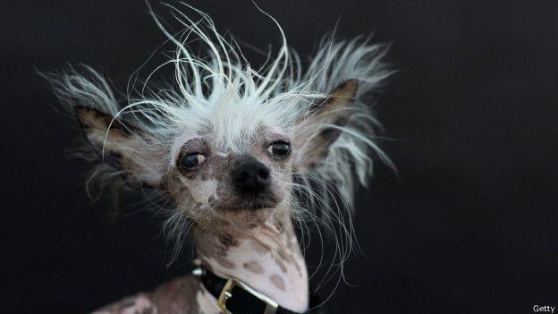 Perro chino crestado, quien también participó en el concurso, posa para la foto