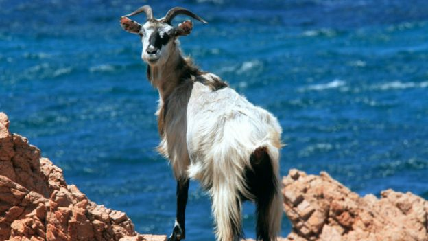 Cabra de Tavolara