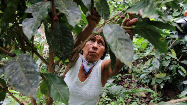 Irene Guasiruma recoge granos de café