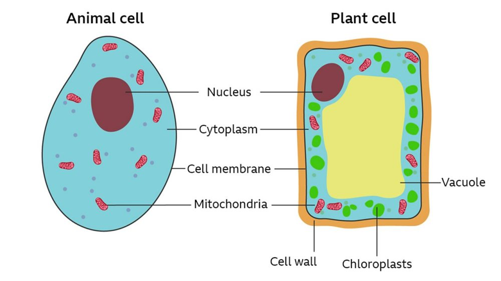 medium resolution of a labelled cross section of both a plant and animal cell