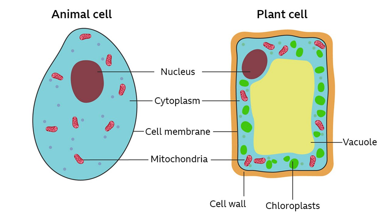 hight resolution of a labelled cross section of both a plant and animal cell