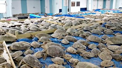 Texas weather: Thousands of cold-stunned turtles rescued #world #BBC_News