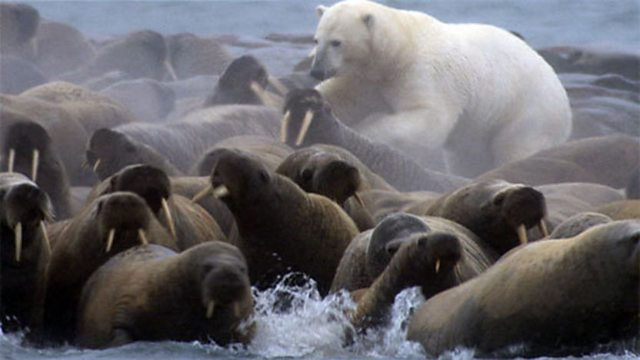 Polar Bear Eats Dog Full Video