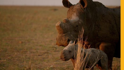 Northern white rhinos: The audacious plan that could save a species 2