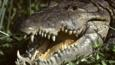American crocodile with open mouth