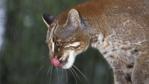 Asian golden cat licking its nose