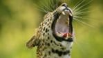 Close-up of a male leopard yawning