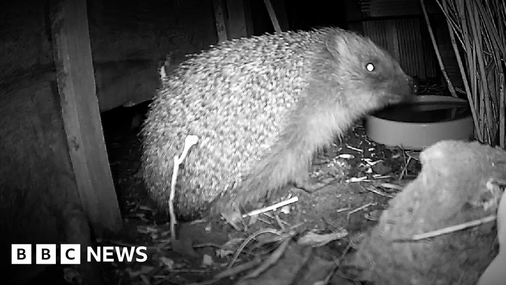 , 'Why drilling holes in fences can save hedgehogs', The Evepost BBC News