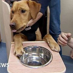 Dog High Chair Vanity Stools And Chairs Poorly Labrador Buck Eats Meals From Bbc News