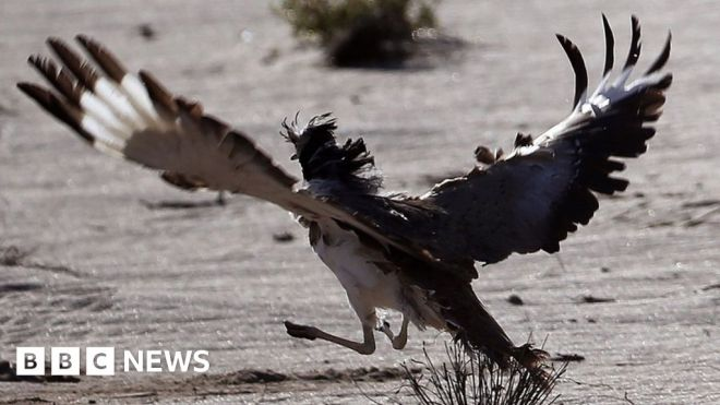 Hunting rare birds in Pakistan to feed the sex drive of princes #world #BBC_News