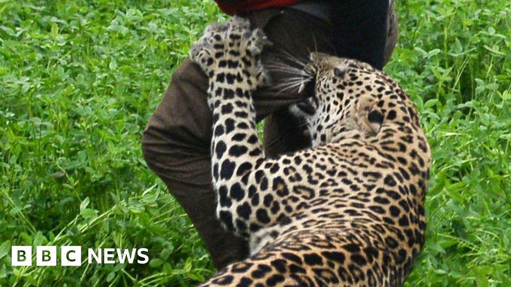 wild leopard attacks indian