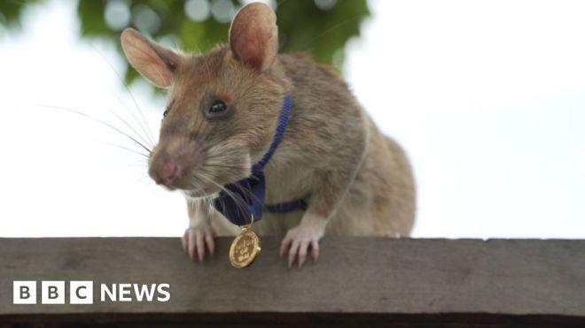 Magawa the hero rat retires from job detecting landmines #world #BBC_News