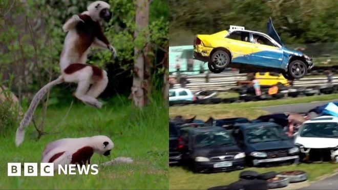 ICYMI: Dancing lemurs and car jumping championships #world #BBC_News