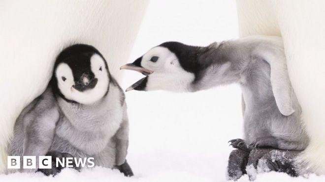 Documenting emperor penguins in Antarctica #world #BBC_News