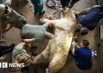 Yorkshire Wildlife Park osos polares con pruebas de alergia al polen