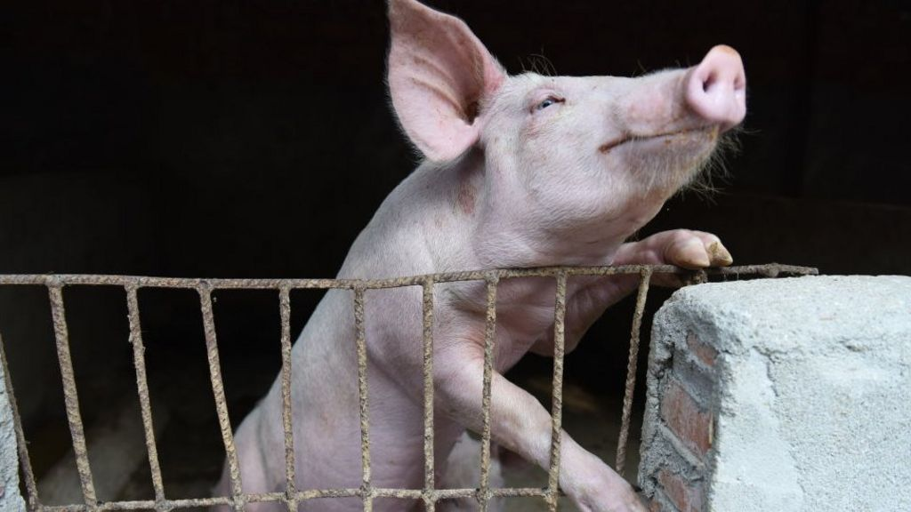 African swine fever: Fears rise as virus spreads to Indonesia ...