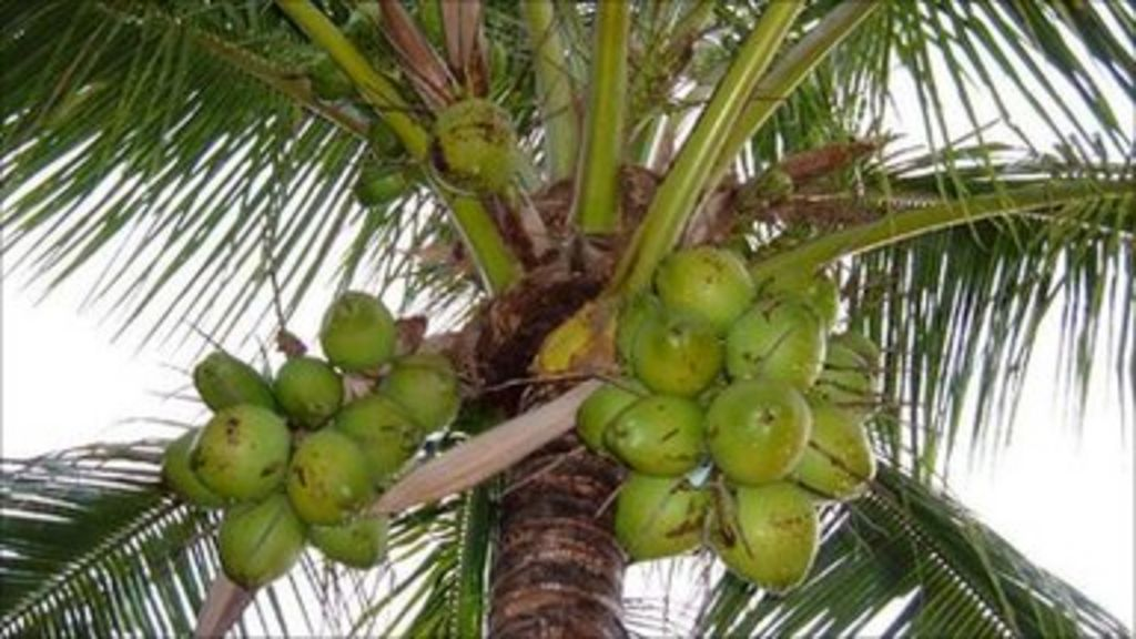 Fall Leaves Falling Wallpaper Coconuts Removed In India Ahead Of Obama Visit Bbc News