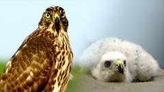 The number of Goshawks in the New Forest has doubled in the last eight years.