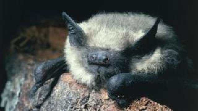 Common pipistrelle bat ()