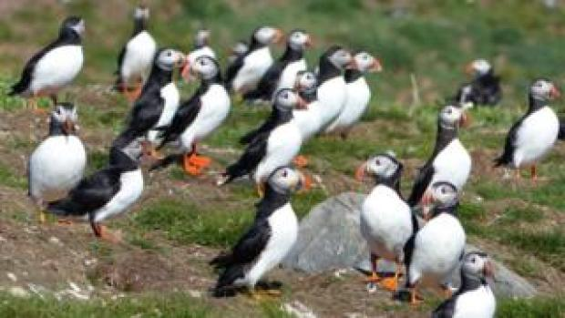 Puffins which have returned to the Farne Islands