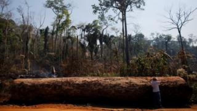 A man points next to a tree extracted illegally from the Amazon rainforest. File photo