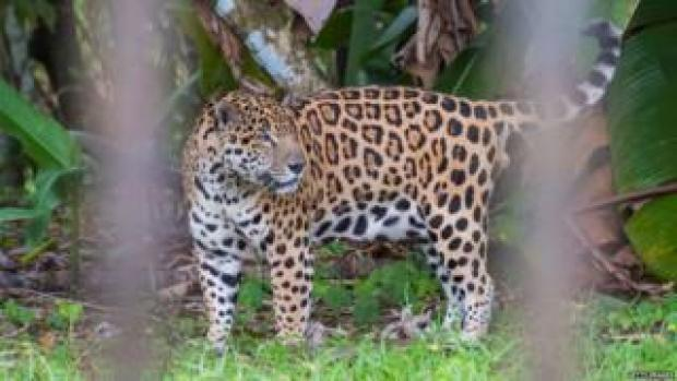 Jaguar in zoo in Guyana
