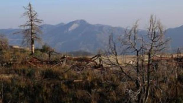 Remains of Bigcone Douglas-fir after a wildfire in Mount Gleason in the Angeles National Forest