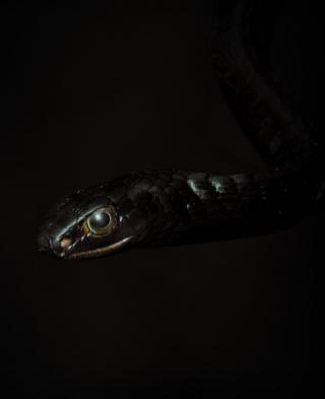 The non-venomous western black tree snake