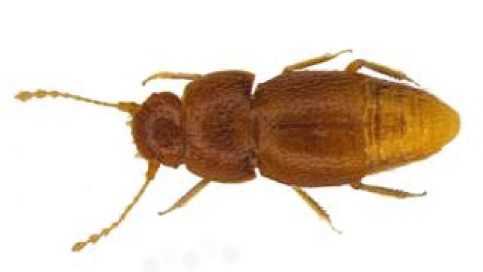 trump N. gretae beetle