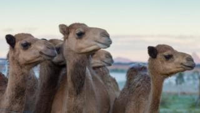 Camels at QCamel's farm