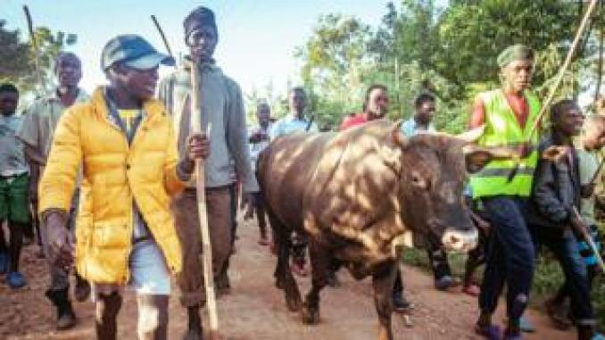 People walking alongside a bull in western Kenya