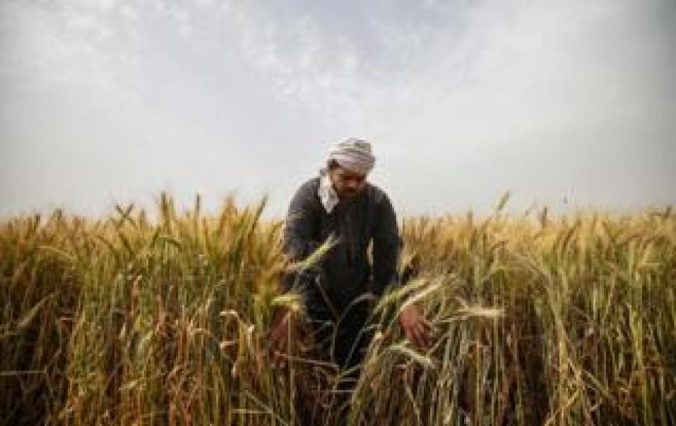An Egyptian man harvests wheat in Saqiyat al-Manqadi village in the northern Nile Delta province of Menoufia in Egypt, on May 1, 2019