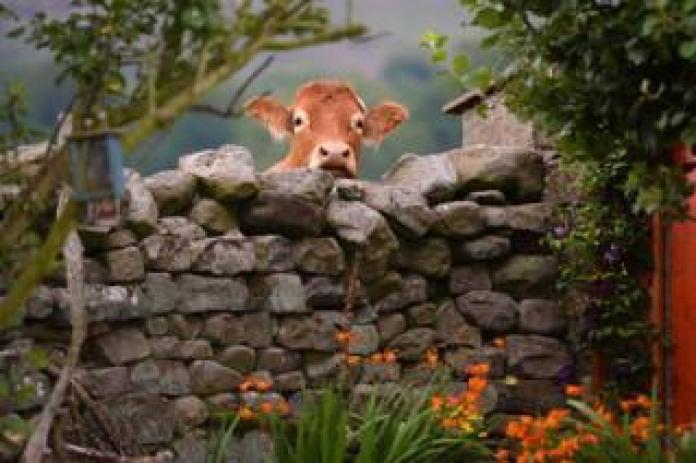 A cow looking over a wall