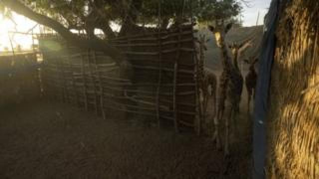 Giraffes in a holding pen after they were captured in the Giraffe Zone.