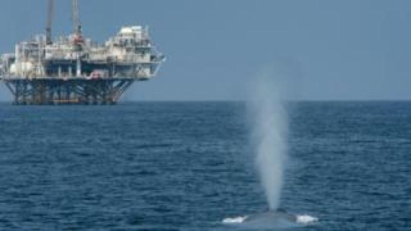 A blue whale spouts near offshore oil rigs in the Catalina Channel near Long Beach, California in 2008.