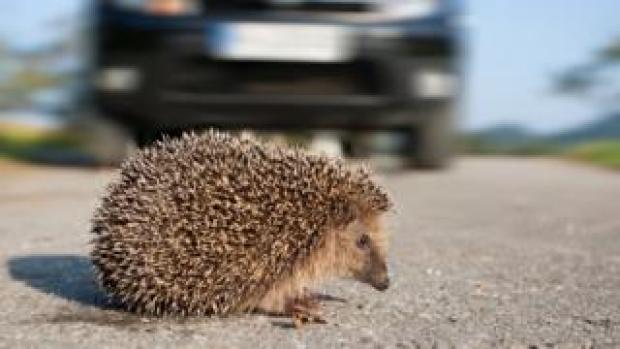 Hedgehog on a road