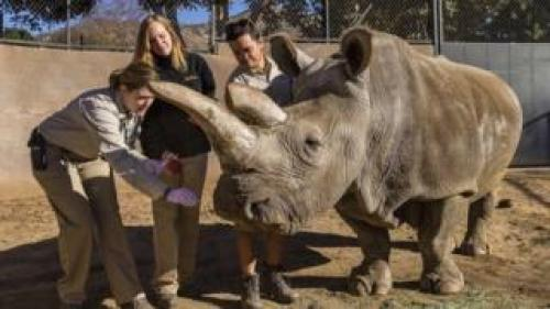 Northern white rhino named Nola receives a veterinary exam, Dec 2014