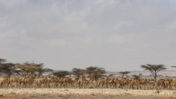 """A photograph made available on 27 March 2017 shows a herd of camels passing by an Internally Displaced Person (IDP) camp in the outskirts of Qardho in Somalia""""s semi-autonomous region of Puntland, Somalia, 26 March 2017"""