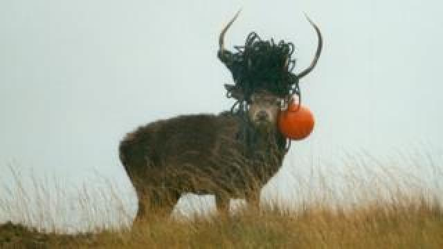 Stag with fishing gear in antlers