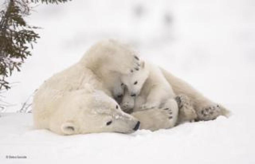 Familia de osos polares en Wapusk National Park, Manitoba, Canadá